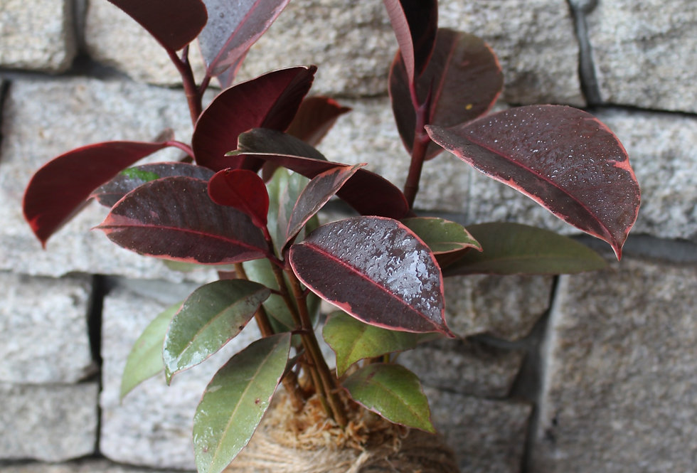 Ficus Ruby (Size: M)