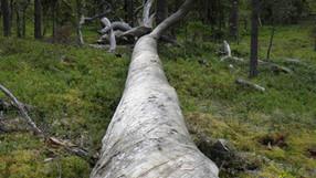 Hede urskog