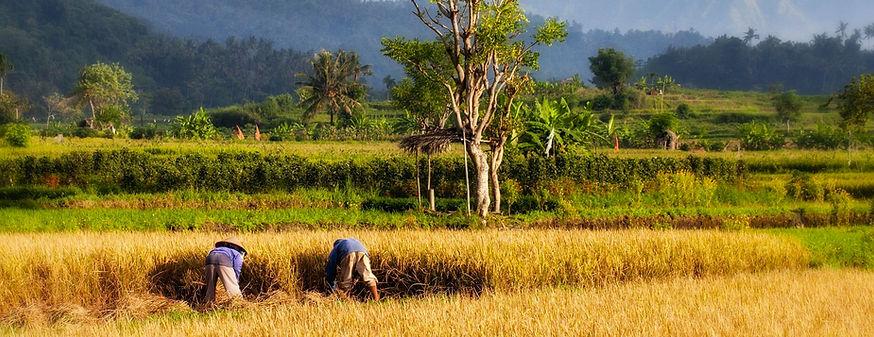 bali sawah rice paddy