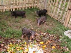 The piglets have arrived!