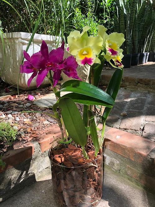 Arranjo em vidro de orquídeas cattleyas