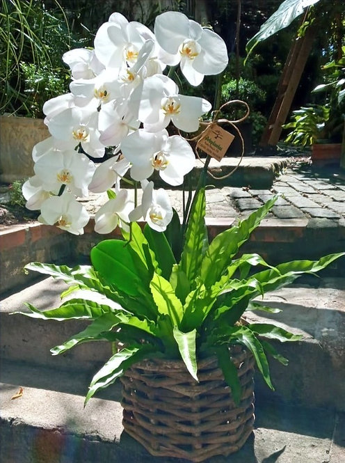 Orquídea phalaenopsis e verde