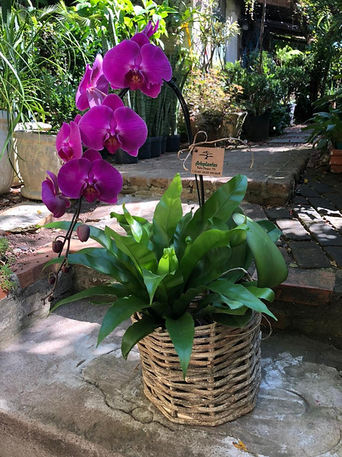 Arranjo com orquídea phalaenopsis e asplenio