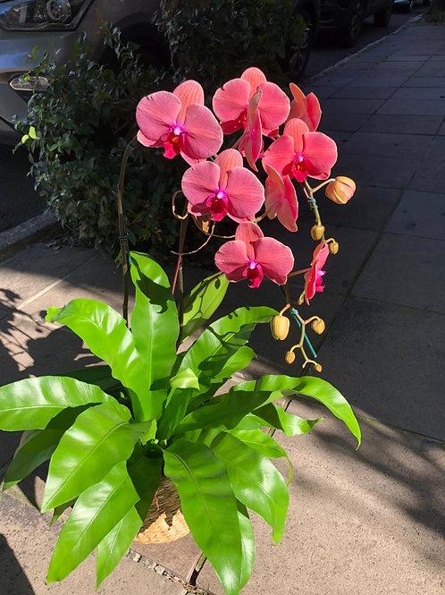 Orquídea phalaenopsis com asplenio