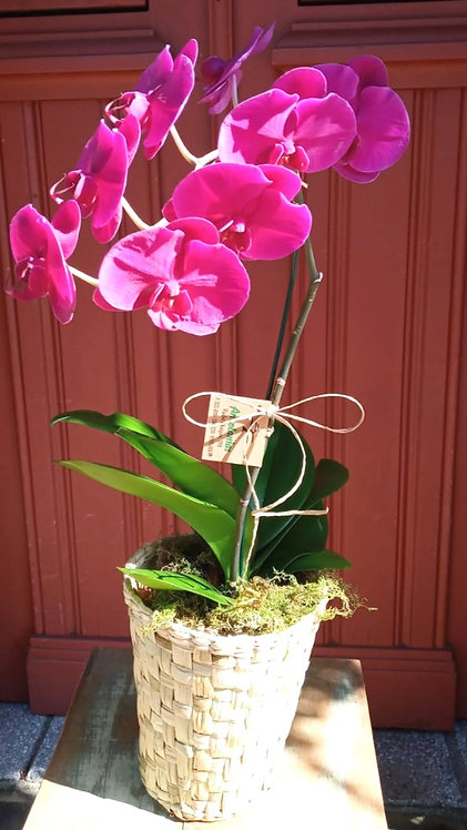Orquídea Pink em cesto de taboa