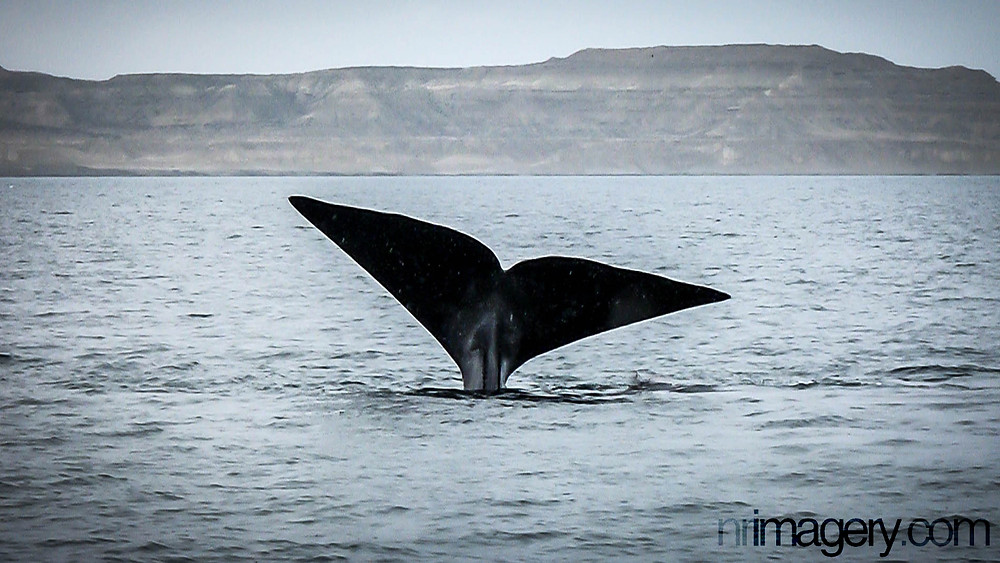 A Southern Right Whale breaching off the Valdes Peninsula.
