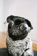 Smart Pug (1).jpg