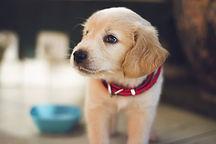 Golden Puppy (1).jpg