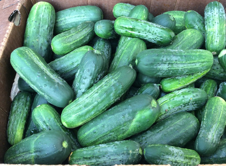 PICKLING CUCUMBERS!