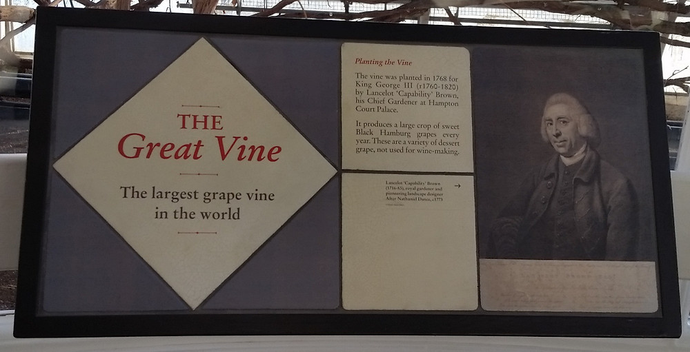 Hampton Court Palace - The Great Vine