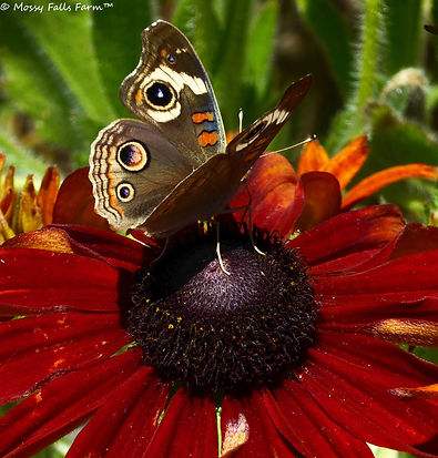 Protect Pollinators Butterfly Flowers Certified Organic Mossy Falls Farm