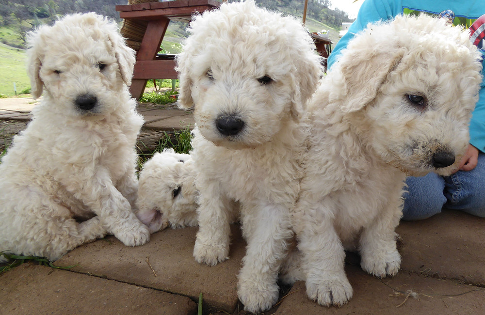 California Komondor Puppies Mossy Falls Farm
