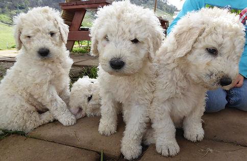 Komondor Puppies for S...