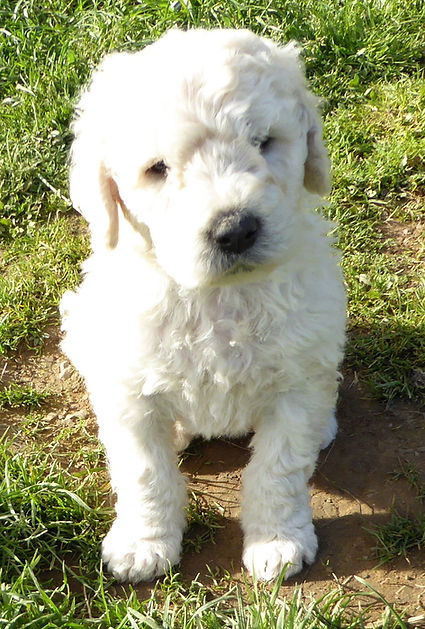 Komondor Puppies For Sale