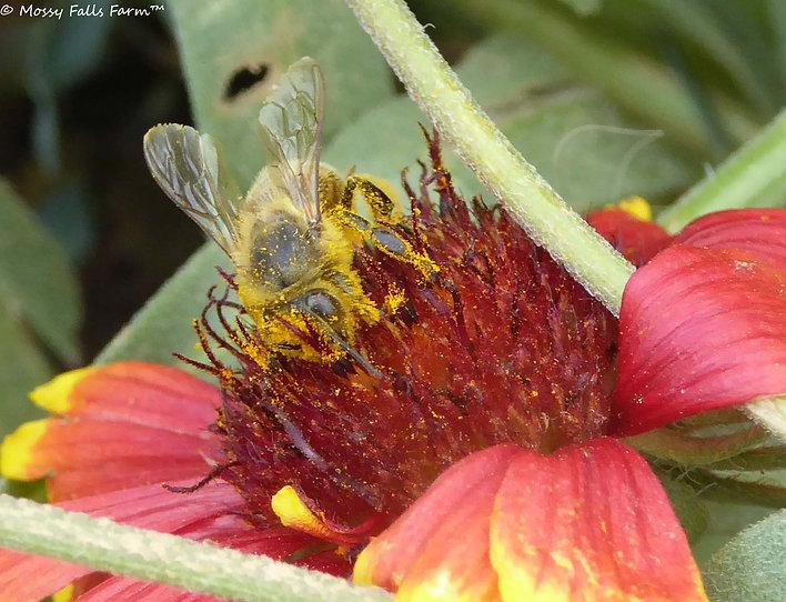 Bee covered in pollen Gaillardia Flower Organic Gardens Mossy Falls Farm