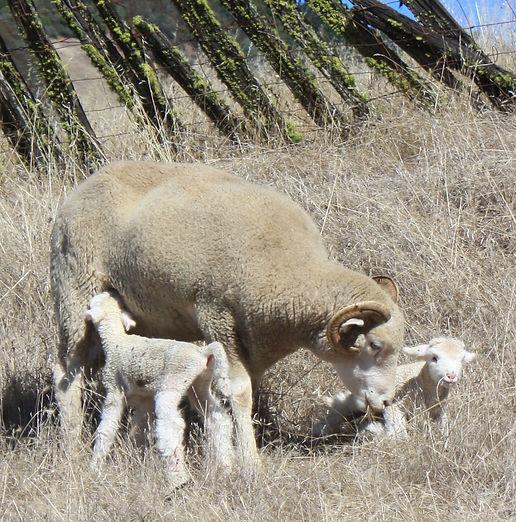 Dorset Horn Ewe & Lambs Mossy Falls Farm