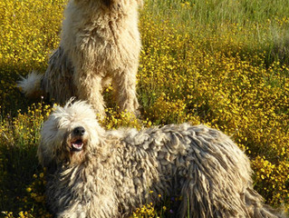 Rare Breed Preservation Project -  California Komondor & Mossy Falls Farm