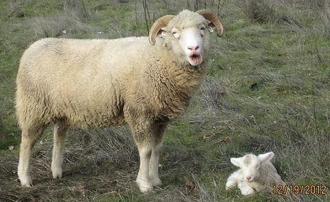 Dorset Horn Sheep & Lamb Mossy Falls Farm