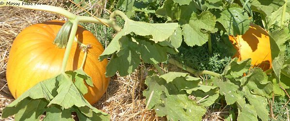 Certified Organic Pumpkins Sustainable Regenerative Agriculture Mossy Falls Farm
