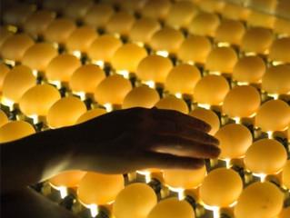 Производство инкубационного яйца в России в 2015 году достигло 2,9 млрд шт.