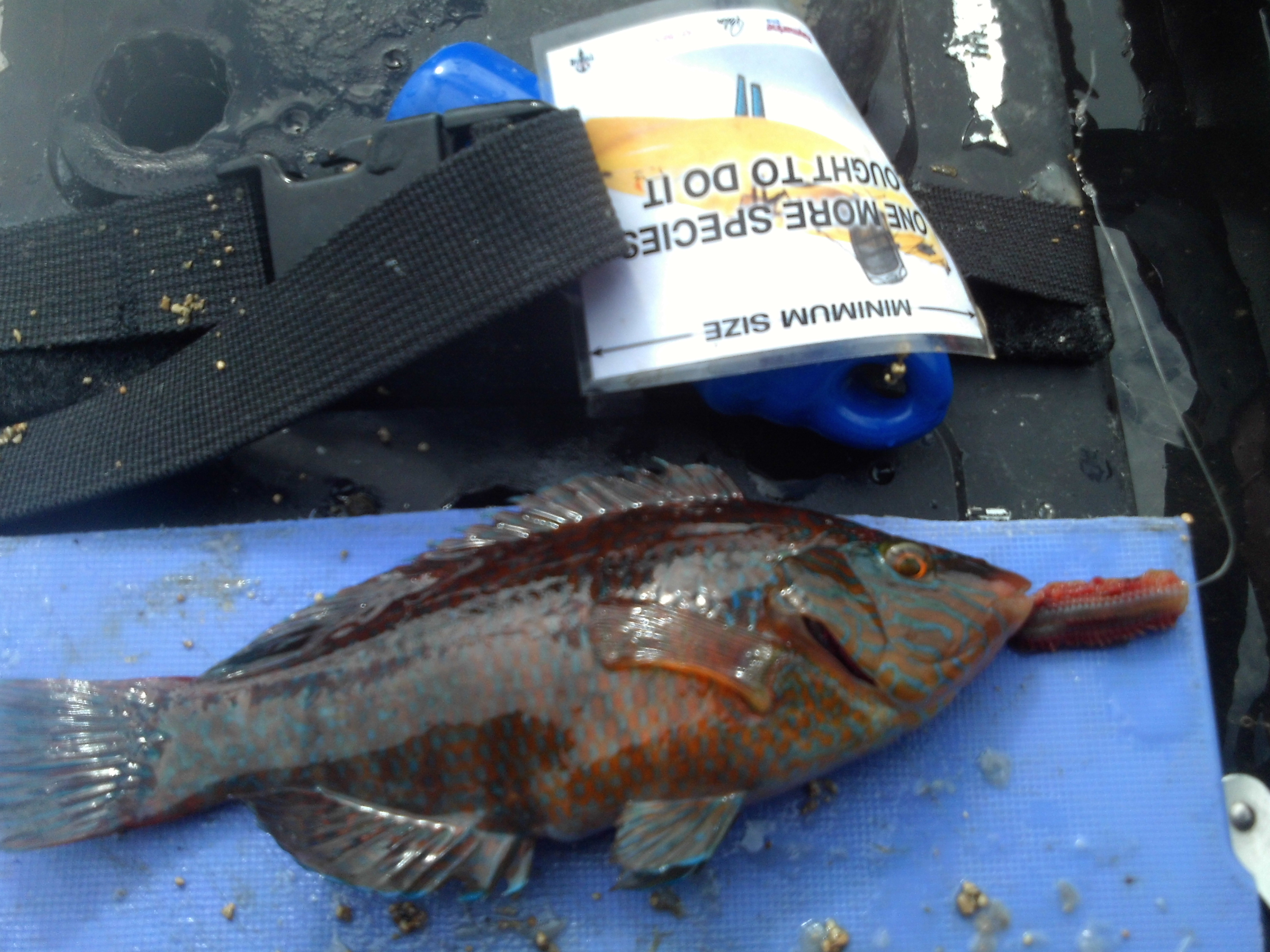 Wrasse - Rock Cook