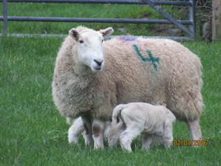 Busy Lambing