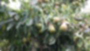 pear fruiting.jpg