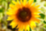 sunflower, sunshine, sunny, yellow, flower, pretty, photograph, image, seed