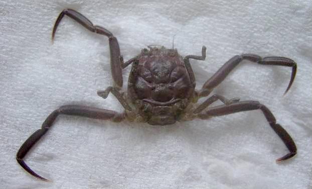 Crabe Heikegani dont la carapace ressemble étrangement à un visage humain.