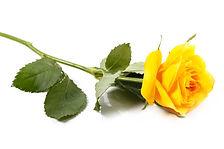 TL_yellowrose.jpg