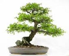 TL_bonsai2.jpg