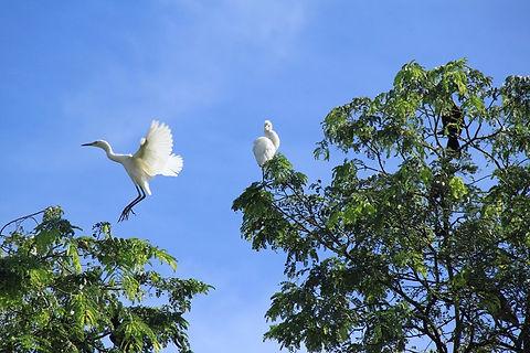 HMBNga_Con cò trắng trong vườn phương Na