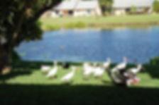TrinhCat_ducks_1.jpg.w560h372.jpg