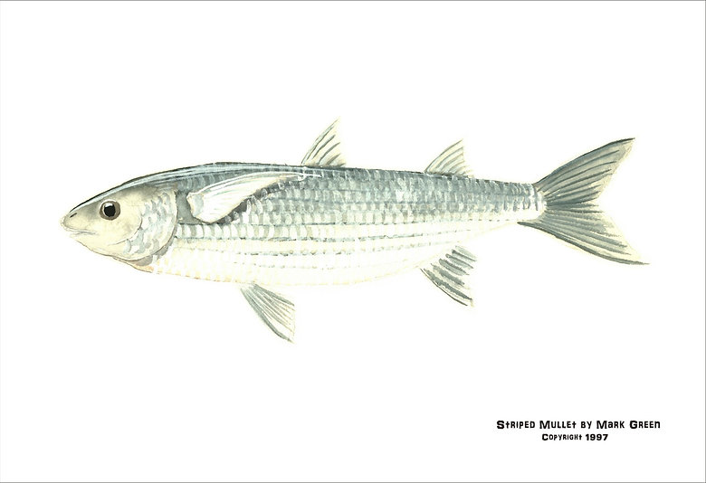 Book Striped Mullet.jpg