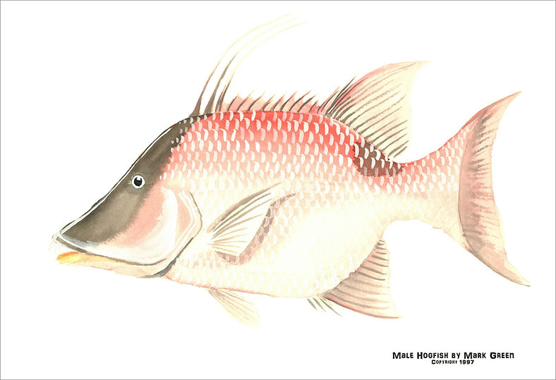Book Male Hogfish.jpg