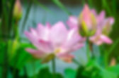water-lily-2536194_1920.jpg