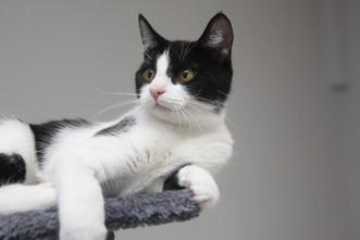white black kitten .JPG
