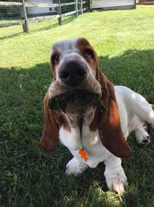 Clover munching grass