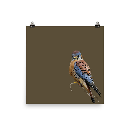 American Kestrel - Square Bird Art Print