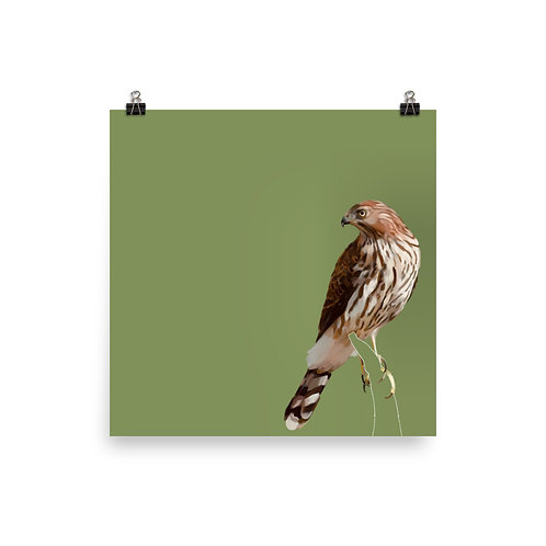 Red-Tailed Hawk - Square Bird Art Print