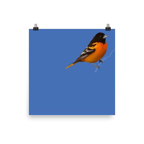 Baltimore Oriole - Square Bird Art Print