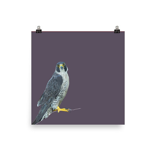 Peregrine Falcon - Square Bird Art Print