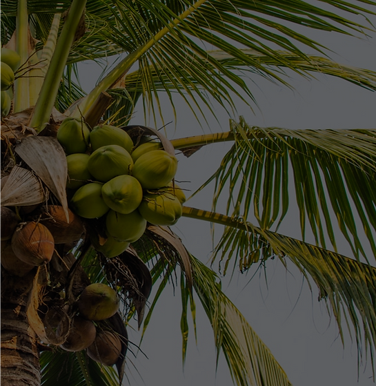 COCONUT TREE.png