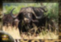 Cape Buffalo, Photgraphic image