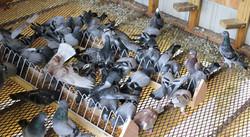 Settling of Birds in the Main Loft