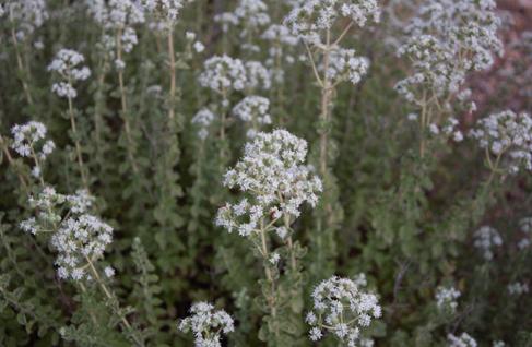 Blühte Oregano