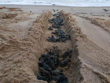 Praia de Piedade volta a ser alco do nascimento de tartaruga-marinha