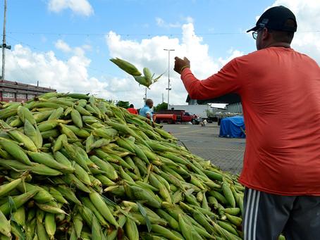 Ceasa pretende vender 13 milhões de espigas no período junino