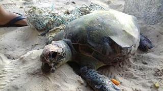 Tartaruga marinha é encontrada morta em Barra de Jangada