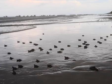 No Dia Mundial do Meio Ambiente, tartarugas nascem na Praia de Piedade